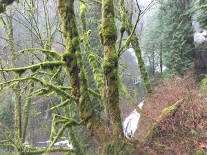 Moss covered trees on the trail at Multnomah Falls.